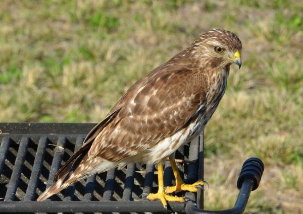 Red Shouldered Hawk Image
