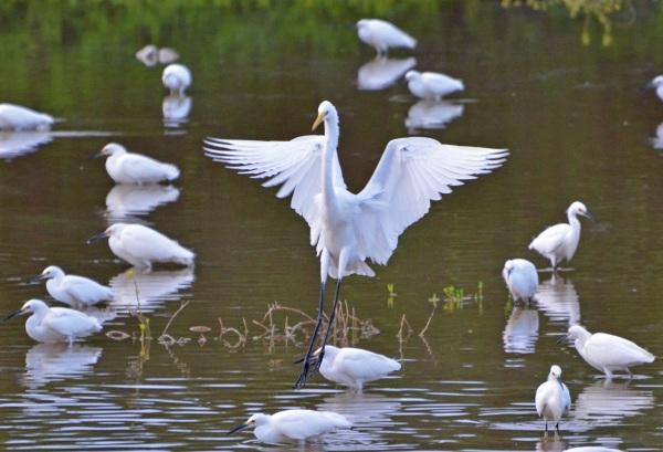Great Egret Image