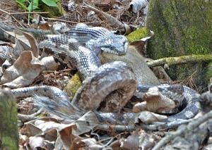 Snake Eating Squirrel Image