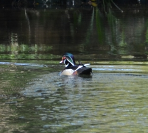Wood Duck Image, Wakulla Springs Edward Ball State Park