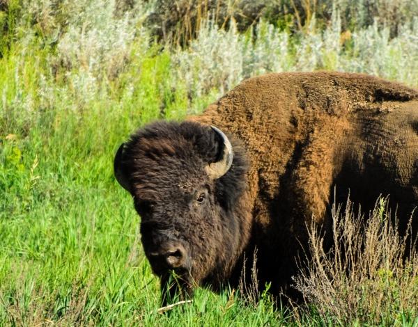 Theodore Roosevelt National Park Bison 2